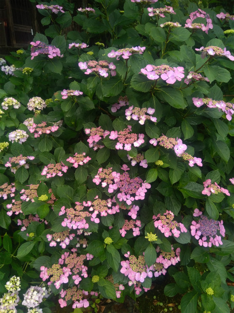浄光寺の紫陽花