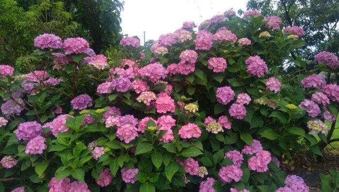 浄光寺前の紫陽花