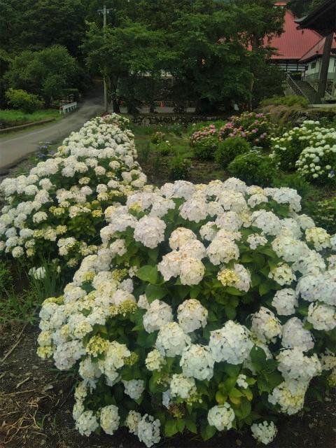 岩松院の白い紫陽花