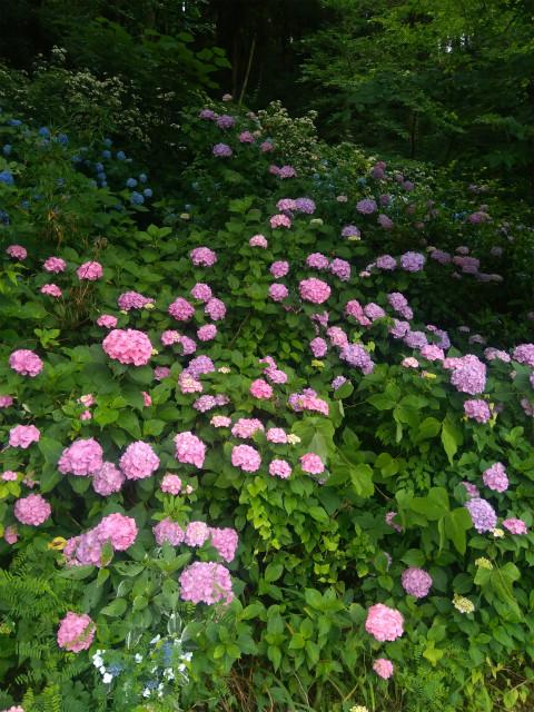 釜上地蔵の紫陽花ピンク