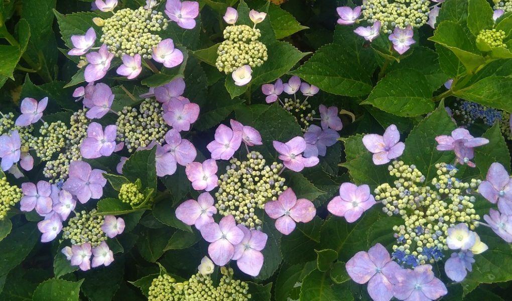おぶせ紫陽花巡り散歩